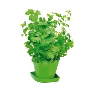 Conj. p/ cultivar ervas aromáticas SENSE, coentros