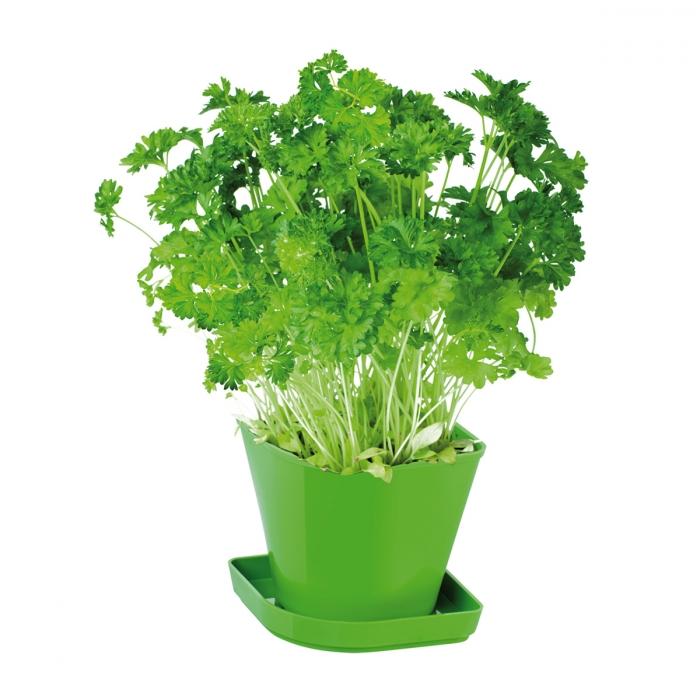 SENSE fűszernövény termesztő szett, petrezselyem